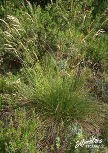 flora_la_rioja_monte_toloño_sierra_cantabria_rutas_botánicas_helictotrichon_cantabricum