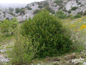 flora_la_rioja_monte_toloño_sierra_cantabria_rutas_botánicas_ilex_aquifolium