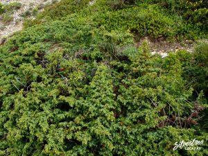 flora_la_rioja_monte_toloño_sierra_cantabria_rutas_botánicas_juniperus_nana_alpina