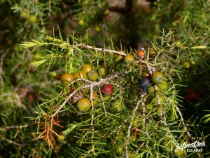 flora_la_rioja_monte_toloño_sierra_cantabria_rutas_botánicas_juniperus_oxycedrus