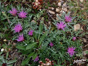 flora_la_rioja_monte_toloño_sierra_cantabria_rutas_botánicas_jurinea_humilis