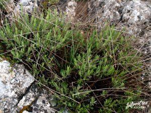 flora_la_rioja_monte_toloño_sierra_cantabria_rutas_botánicas_lavandula_latifolia