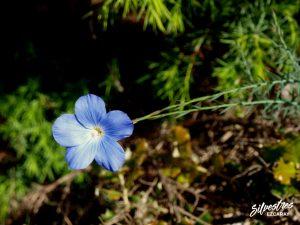 flora_la_rioja_monte_toloño_sierra_cantabria_rutas_botánicas_linum_narbonense