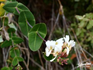 flora_la_rioja_monte_toloño_sierra_cantabria_rutas_botánicas_lonicera_implexa