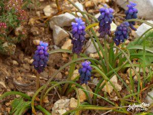 flora_la_rioja_monte_toloño_sierra_cantabria_rutas_botánicas_muscari_neglectum