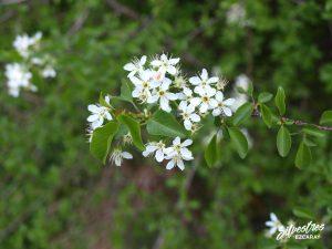 flora_la_rioja_monte_toloño_sierra_cantabria_rutas_botánicas_prunus_mahaleb