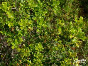 flora_la_rioja_monte_toloño_sierra_cantabria_rutas_botánicas_quercus_coccifera
