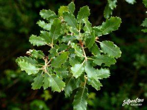 flora_la_rioja_monte_toloño_sierra_cantabria_rutas_botánicas_quercus_faginea