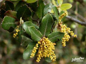flora_la_rioja_monte_toloño_sierra_cantabria_rutas_botánicas_quercus_ilex