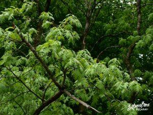 flora_la_rioja_monte_toloño_sierra_cantabria_rutas_botánicas_quercus_pyrenaica