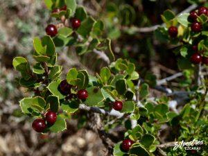 flora_la_rioja_monte_toloño_sierra_cantabria_rutas_botánicas_rhamnus_alaternus
