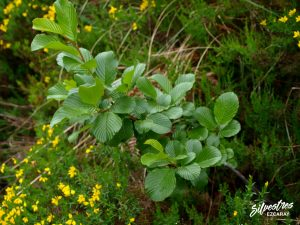 flora_la_rioja_monte_toloño_sierra_cantabria_rutas_botánicas_rhamnus_alpina