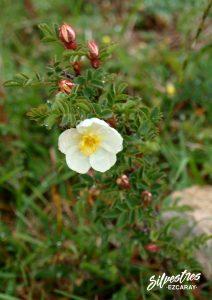 flora_la_rioja_monte_toloño_sierra_cantabria_rutas_botánicas_rosa_pimpinellifolia