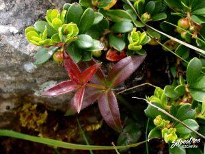 flora_la_rioja_monte_toloño_sierra_cantabria_rutas_botánicas_rubia_peregrina