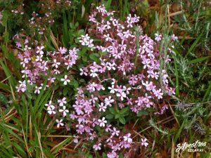 flora_la_rioja_monte_toloño_sierra_cantabria_rutas_botánicas_saponaria_ocymoides