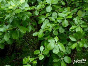 flora_la_rioja_monte_toloño_sierra_cantabria_rutas_botánicas_sorbus_aria