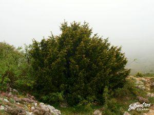 flora_la_rioja_monte_toloño_sierra_cantabria_rutas_botánicas_pinus_halepensis