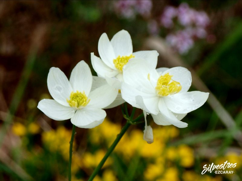 flora_la_rioja_monte_toloño_sierra_cantabria_rutas_botánicas_thalictrum_tuberosum