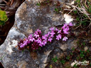 flora_la_rioja_monte_toloño_sierra_cantabria_rutas_botánicas_thymus_praecox