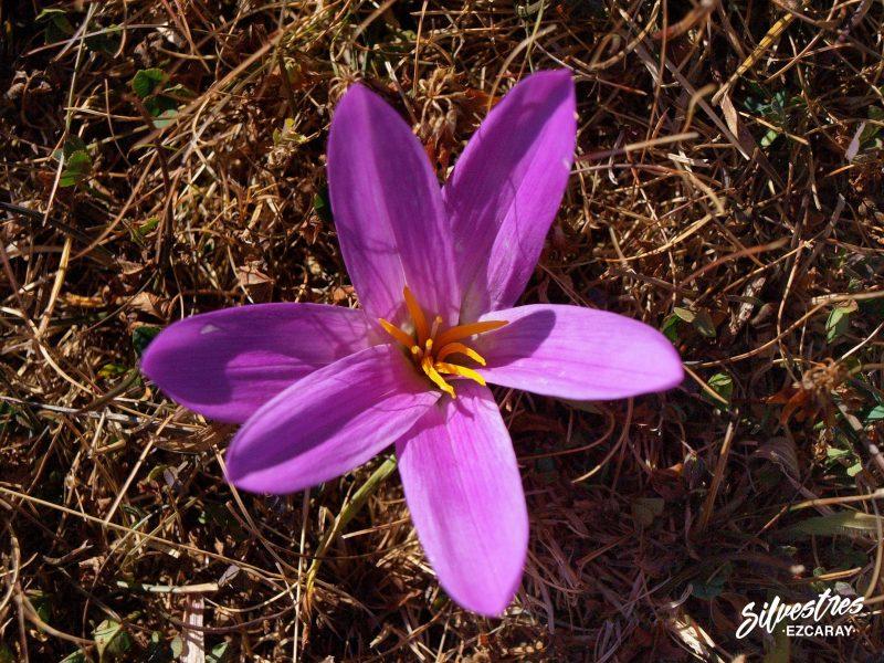 flores_lilaceas_bulbos_medio_natural_la_rioja_red_natura_valle_ezcaray