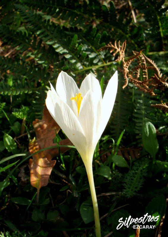 plantas_apocromáticas_azafran_crocus_flores_otoño_ezcaray_la_rioja_silvestres