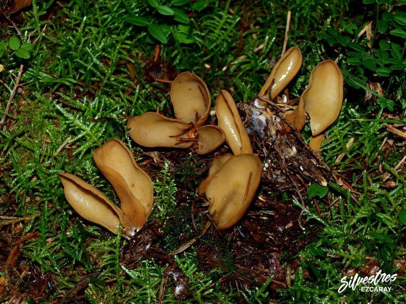 guia micológico en ezcaray silvestres