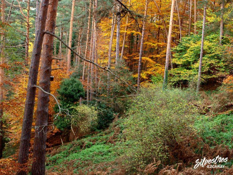bosque otoñal de ezcaray