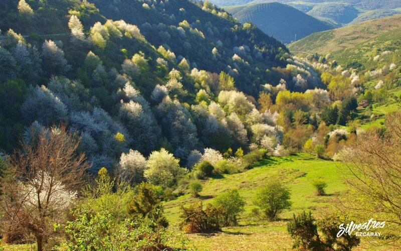 guía_cerezos_paisajes_primavera_ezcaray