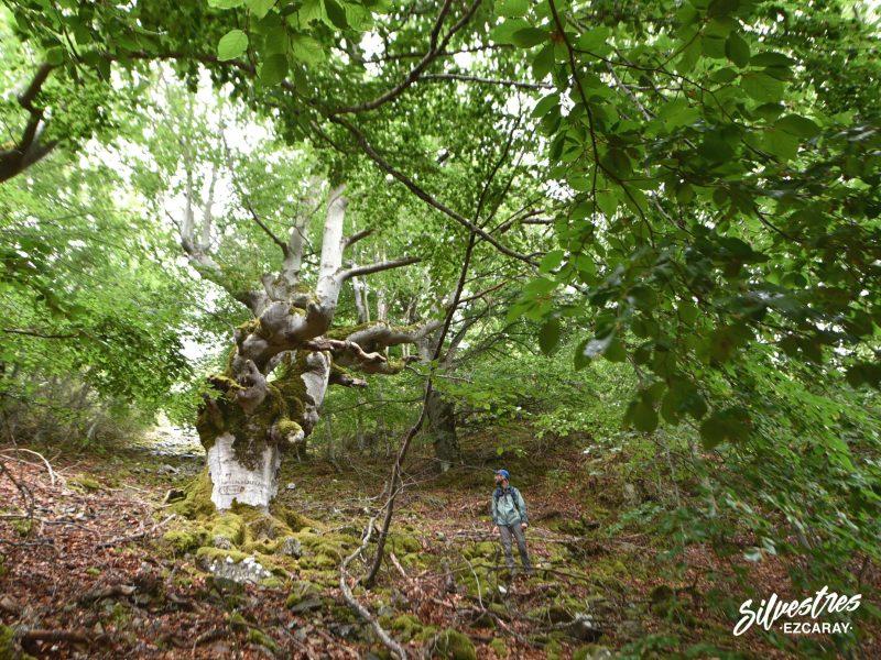rutas_arboles_singulares_ezcaray_que_hacer_guia_de_montaña_silvestres