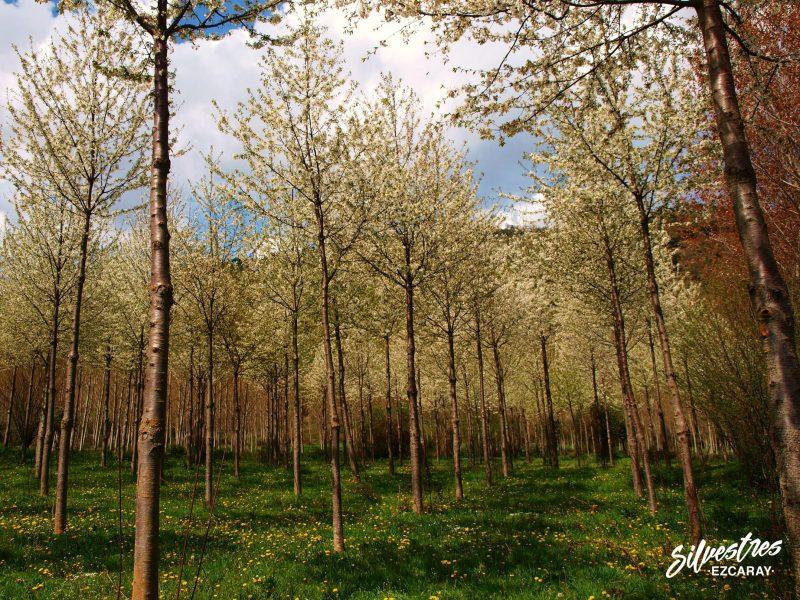 aprovechamientos_forestales_la_rioja_cerezo_madera_ojacastro