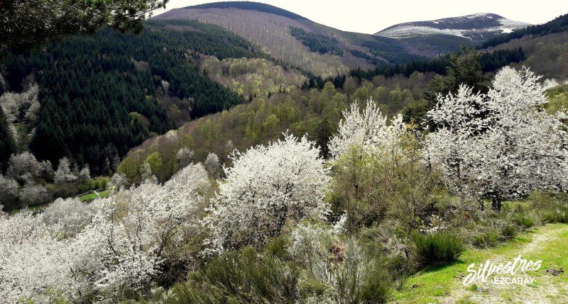 bonicaparra_cerezos_ezcaray_rutas_paisajes_primavera_la_rioja