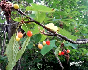 cerezas_silvestres_comestibles_fruto_prunus_avium