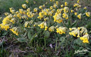 flores_silvestres_valle_oja_ezcaray_la_rioja_primulas