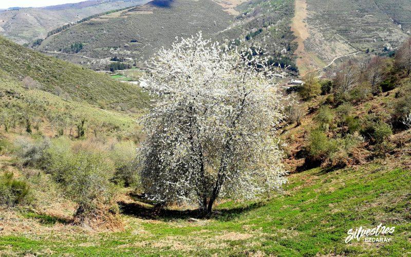 ver_los_cerezos_ezcaray_la_rioja_ecoturismo