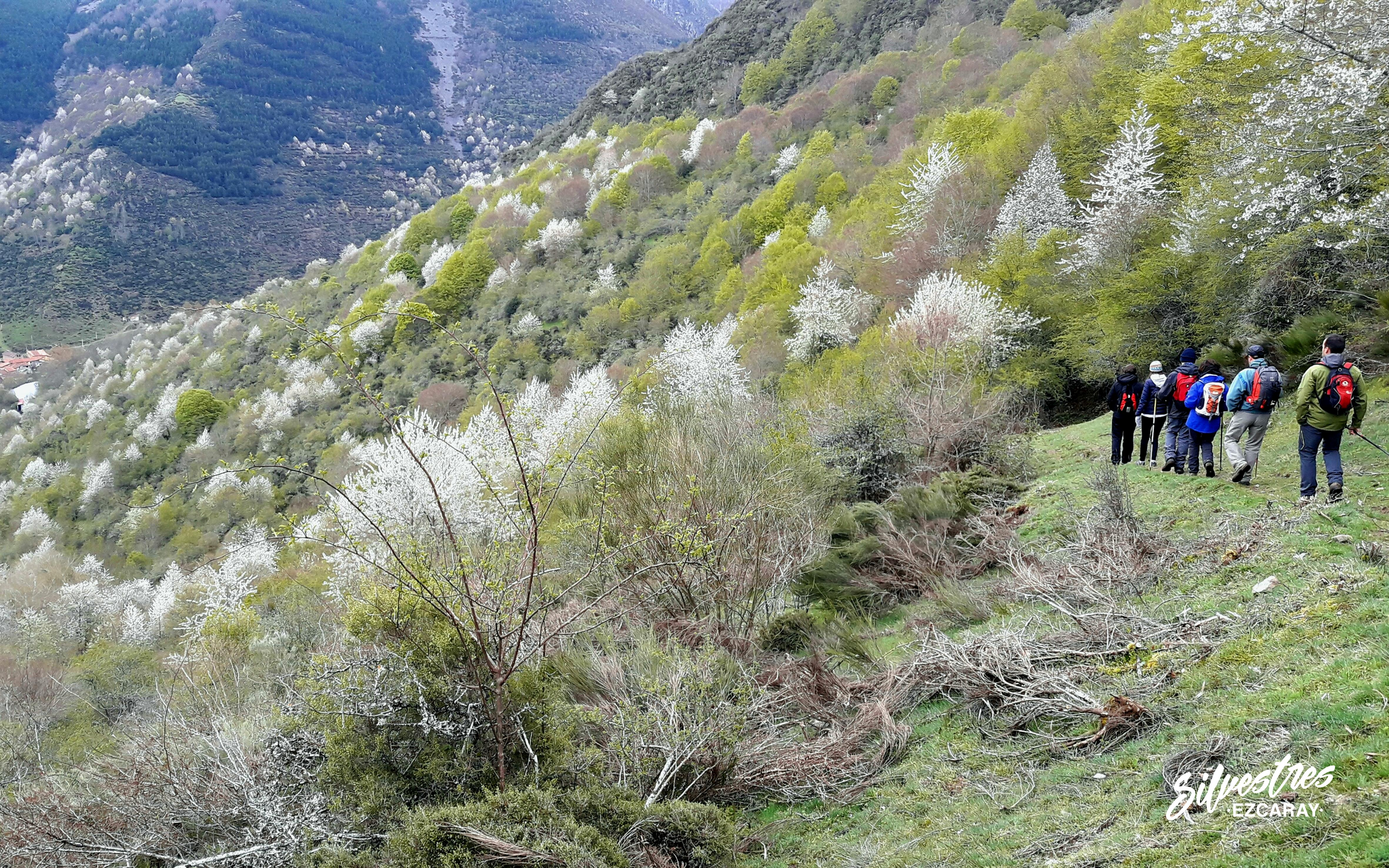 rutas_paisajes_primavera_que_ver_ezcaray_guia_naturaleza_cerezos_flora