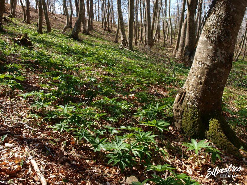 bosques_hayedos_fotos_santurdejo_primavera_excursiones_senderismo_helleborus