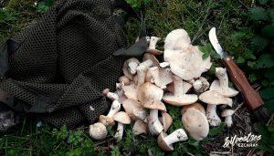 calocybe_gambosa_la_rioja_recolectar_habitats_micologicos
