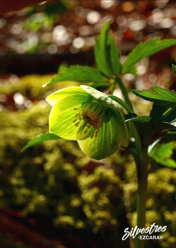 guia_plantas_medicinales_toxicas_venenosas_la_rioja_sierra_demanada_eleboro