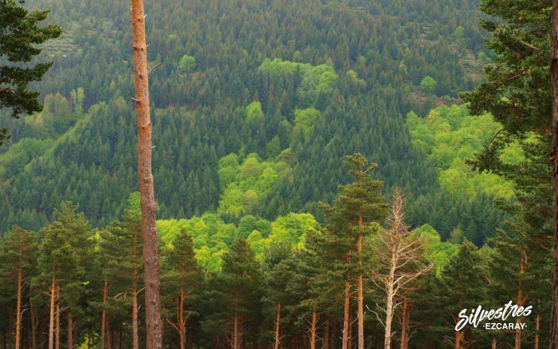 repoblaciones_forestales_la_rioja_picea_abies_pinus_sylvestris_pseodotsuga_ezcaray_bonicaparra