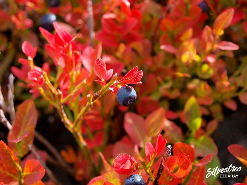 arandano_anabia_vaccinium_myrtillus_paisajes_plantas_sierra_demanda_ezcaray