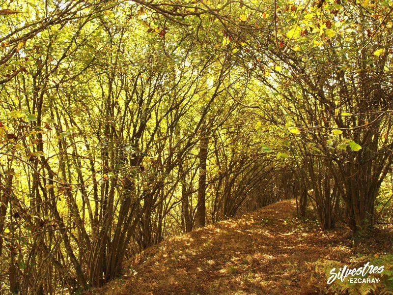 avellanedas_red_natura_2000_paisajes_alto_oja_sierra_demanda_ojacastro_bosques_avellano