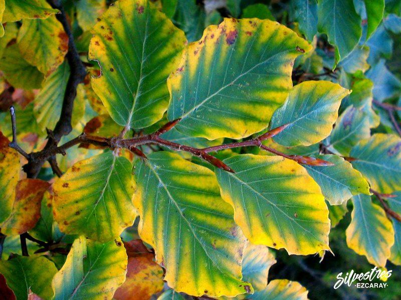 bosques_árboles_la_rioja_haya_fagus_sylvatica_hayedos_otoño_ezcaray_silvestres