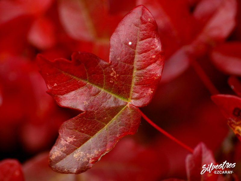 fotos_naturaleza_fotografías_medio_natural_la_rioja_ojacastro_arce_montpellier