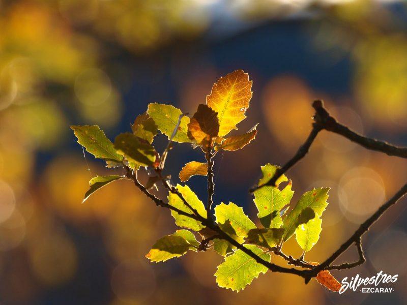 naturaleza_paisajes_ezcaray_empresa_guias_la_rioja_bosques_robledales_quercus_faginea
