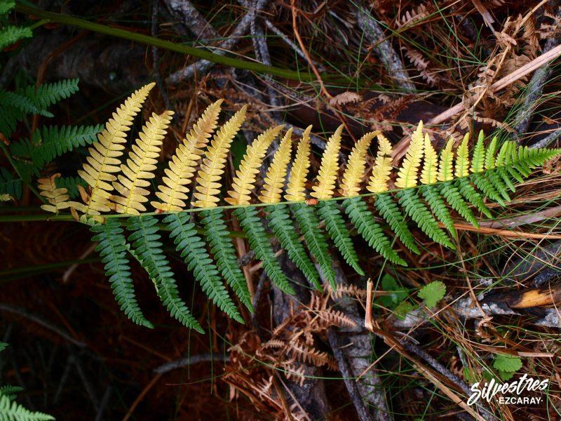 otoño_alto_oja_sierra_demanda_especies_forestales_helechos_fotografías_botánica