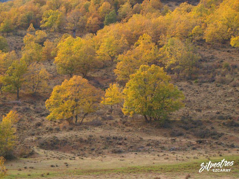 robledales_quejigares_zorraquín_bosque_centenarios_árboles_singulares_la_rioja
