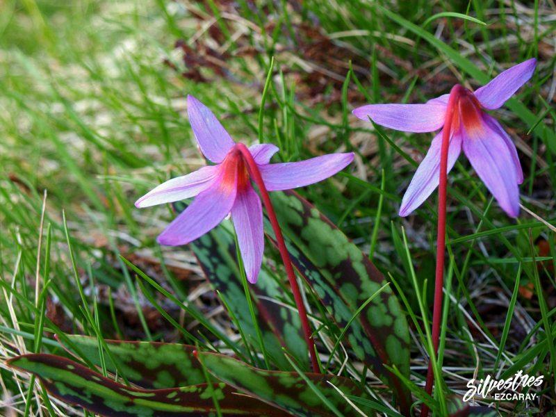 flora_flores_silvestres_alto_oja_ezcaray_necutia_montaña_cervunales