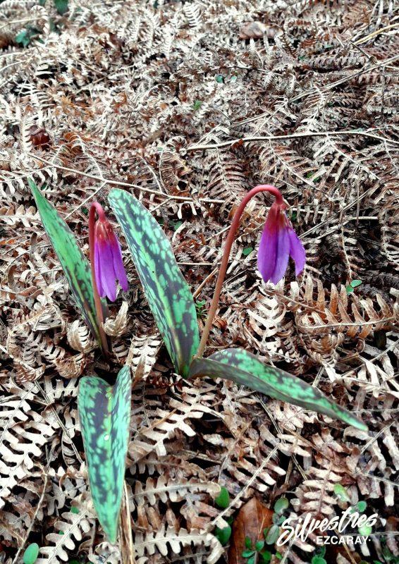 flores_de_diente_de_perro_catalogo_florístico_la_rioja_rutas_botánicas