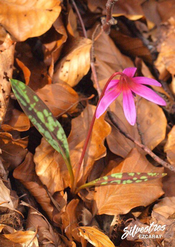flores_silvestres_la_rioja_bosques_hayedos_primavera_excursiones_ezcaray