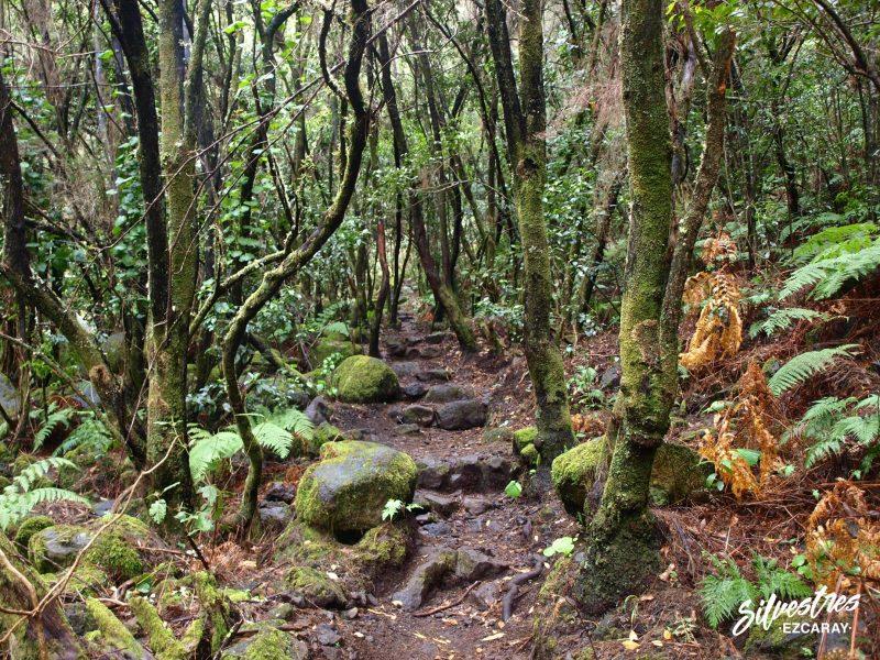 laurisilva_monte_verde_canarias_la_palma_los_tilos_los_mejores_senderos